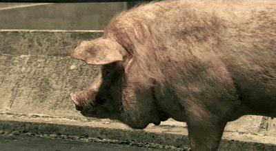 Citroën-Werbung: Ein fettes, zufriedenes Schwein